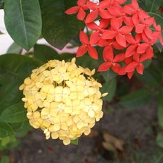"""Yellow & red tropical flowers, called in our country like """"cruz de Marta"""""""