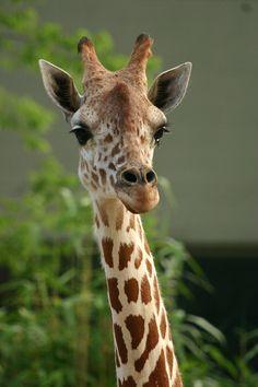 giraffe ~<3~