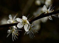 Lente 2016, Bloesem van de Sleedoorn