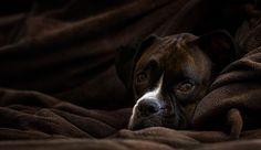 """""""Don't Wake Me"""" - My dog Nikon taking a nap in a huge pile of soft blankets. © Jason Greashaber"""