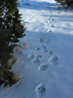 A couple of times I've come across sets of these. Mountain lion tracks: and tracked them for sometime. Never far enough to meet the lion.