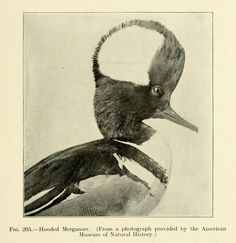 Fig. 205. Hooded Merganser. The bird; its form and function. 1906.