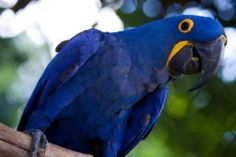 Guacamayo azul de Brasil - Arara Azul - Por F. Weberich