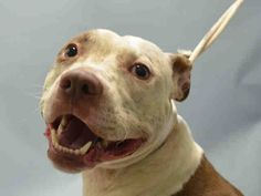 SAFE 9-20-2015 --- Brooklyn Center CAMERON – A1050920  MALE, BROWN / WHITE, AM PIT BULL TER MIX, 1 yr OWNER SUR – EVALUATE, NO HOLD Reason PERS PROB Intake condition EXAM REQ Intake Date 09/10/2015