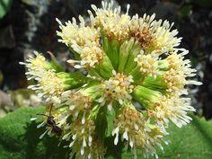 Wildflowers of Turkey - Petasites hybridus
