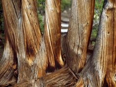 Age contorts the trunks of a group of whitebark pine trees in Yellowstone National Park.