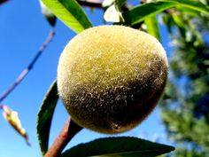 Easy Reference List: How to Prune and Care for Peach Trees