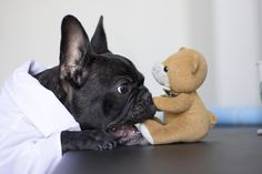 """""""There's my favorite Toy"""", French Bulldog Puppy, #tbt #tbthuesday"""""""