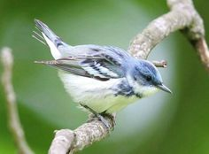 Cerulean Warblers  also breed near Beiwnstown, IN)