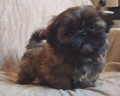 My wish for Christmas, Dark, Brown or black Shih Tzu puppy) the cutest puppies ever! Shitzu Puppies, Cute Puppies, Cute Dogs, Dogs And Puppies, Doggies, Brown Shih Tzu, Black Shih Tzu, Shiz Tzu, Shih Tzu Puppy