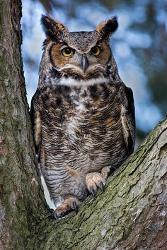 Great Horned Owl, (Bubo virginianus), also known as the Tiger Owl, is a large owl native to the Americas. It is an adaptable bird with a vast range and is the most widely distributed true owl in the Americas.