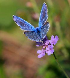 Blue butterfly by gianfi, via Flickr