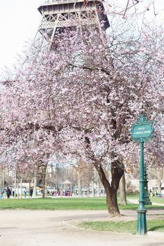 cherry blossoms in #paris