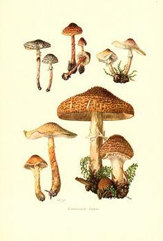 freckled dapperling mushroom, lepiota acutesquamosa, lepiota friesii, original vintage lithograph, 1963