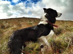 Working Border Collie via The Yorkshire Shepherdess.