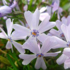 #Purple #Flower #Flowers #Plant #Plants #Pretty #Beauty #Beautiful #Outside #Nature #MotherNature #Green