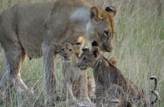 The #lion population in #Saadani National Park is growing and you will see almost year round new lion #cubs