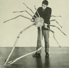 Giant spider crab from Japan featured in 'The American Museum Journal' (1904) [3000x3000]