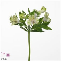 Alstroemeria Greenday is a lovely bi-colour green & white variety. 80cm tall & wholesaled in 10 stem wraps. (Please note, alstroemeria flowers take a few days to open).