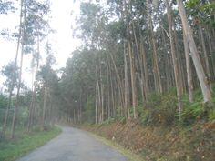 El bosque de eucaliptos, camino de Viveiro y dejando atrás la estaca, no podía faltar. Meigas, haberlas ailas.
