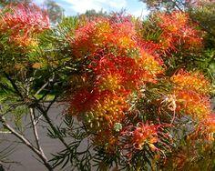 Grevillea cultivars - Robyn Gordon type.