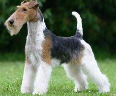 wire fox terrier | Temperamento de Fox Terrier Wire El Fox Terrier Wire