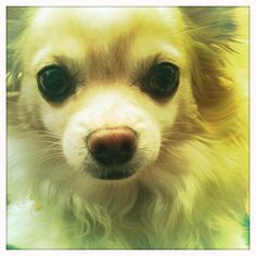 """""""Julio"""", the Long-Haired Chihuahua"""