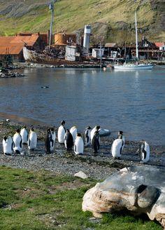 King Penguins at Grytviken