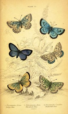 Vintage butterfly prints. Natural History of British Butterflies, James Duncan, 1840.