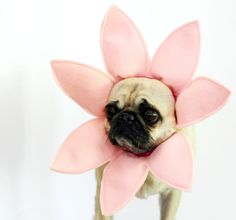 I had the pleasure of working with the DIY Network to create tutorials for four awesome handmade Halloween costumes for dogs. My parent's fabulous pugs acted as my muses and models. Handmade Halloween Costumes, Diy Dog Costumes, Animal Costumes, Small Dog Costumes, Costume Ideas, Pugs In Costume, Puppy Costume, Chien Halloween, Dog Halloween