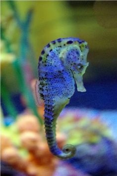 Precious Seahorse - Did you know... As of 4/2014 many seahorse species are endangered; some are already extinct. A world without creatures like the seahorse is unimaginably drab, blah and pitiful. The more creatures like this that become extinct, the more the human race itself inches toward extinction. May we (humans) learn to take better care of Mother Earth and all her inhabitants before it is too late for all of us. May God bless all creatures great and small.