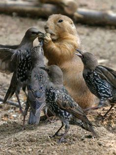 Groundhog and birds sharing