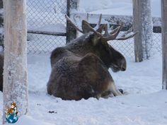 Animals in Ranua Wildlife Park (Finland)