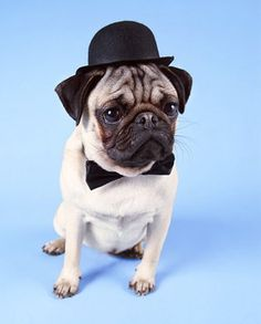 a120aa1899c Stock Photography of Pug Dog Wearing a Bowler Hat - Search Stock Photos
