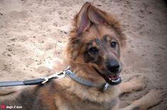 Schäferhund-Eurasier Leonie  Was sagst du? Ich bin ganz Ohr  Rasse: Schäferhund-Eurasier / Name: Leonie     Mehr lesen: http://d2l.in/3l  dogs2love - Gassi gehen zum Verlieben. Partnerbörse für alle, die Hunde lieben.  Bild, Dating, Foto, Hund, Single