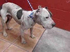 DIES TODAY! DESPITE BEING ABUSED, THIS SWEET BOY RECEIVED A PERFECT TEMPERAMENT SCORE - A ON TEMP TEST. NO HOLDS OR INTEREST. APPROX $750 IN PLEDGES. DOWNEY SHELTER, CA. Animal ID: A4800586 THIS POOR GUY IS IN BAD SHAPE. HIS EARS HAVE BEEN HACKED OFF, HE'S COVERED IN GASHES AND IS IN TERRIBLE CONDITION. NOW THEY'RE GOING TO KILL HIM. https://www.facebook.com/photo.php?fbid=611233142340427&set=a.118132861650460.19466.100003612410268&type=1