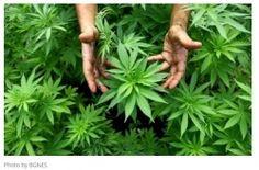 Bulgaria: Israel Offers Bulgaria Collaboration on Medical Cannabis R&D