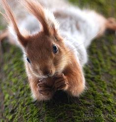 coversquirrel
