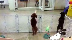 (Agr) La danza del cane. Dal box attende l'arrivo della padrona e, quando la vede al di là della vetrata, il barboncino impazzisce letteralmente dalla gioia scatenandosi in salti e movenze che sembrano una danza. Il video, girato negli Stati Uniti, è già virale sul web.