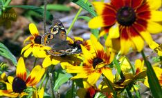 Buckeye Butterflies and other pollinators frequently visit the stunning Denver daisy- Best Butterfly Plants List Butterfly Bush, Monarch Butterfly, Flowers For Butterflies, Buckeye Butterfly, Butterfly Garden Plants, Hummingbird Plants, Diy Garden Projects, Garden Ideas, Plant Species