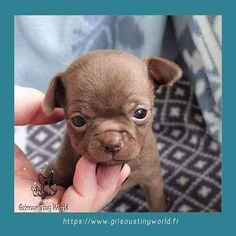 Le Chihuahua, French Bulldog, Dogs, Adopt A Puppy, Animaux, French Bulldog Shedding, Pet Dogs, Bulldog Frances, Doggies