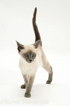 Blue-point Siamese kitten