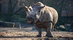 Nabire Northern White Rhino