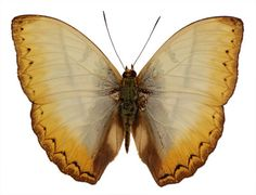 Cymothoe reinholti  Common Yellow Glider