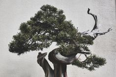 bonsai tree photography