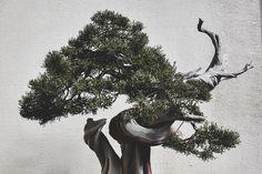 California Juniper bonsai, growing since 1985