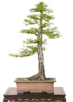 """Montezuma cypress (Taxodium mucronatum) by John Naka. 36"""" tall. Pot: over 300 years old high quality ancient Chinese container."""