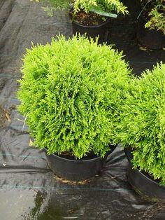 Havukasvit - Harviala Olympus Digital Camera, Bonsai, Herbs, Plants, Herb, Plant, Planets, String Garden, Medicinal Plants