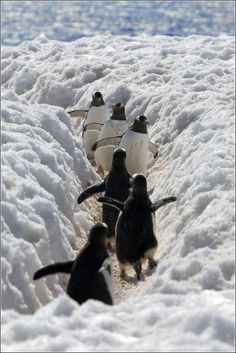 Penguins walking up snow path