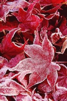perfect photographs on the brilliant red foliage conveniently located across the street! perfect photographs on the brilliant red foliage conveniently located across the street! Winter Snow, Winter Time, Winter Season, All Nature, Winter Beauty, Winter Scenes, Winter Garden, Belle Photo, Autumn Leaves